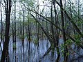 Teufelsbruch swamp with blooming Utricularia vulgaris and rain 05.jpg