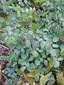 Thalictrum rochebrunianum foliage - Flickr - peganum.jpg