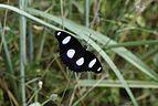 The Danaid Eggfly 6373.jpg