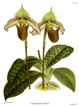 The Orchid Album-03-0082-0122-Cypripedium curtisii