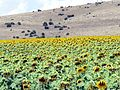 The Sunflowers - panoramio.jpg