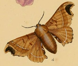 Bombyx huttoni - Illustration accompanying Westwood's description
