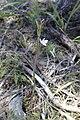 Thelymitra longifolia kz07.jpg