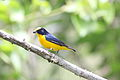 Thick-billed Euphonia.jpg