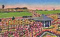 Thornden-park mills-municipal-rose.jpg