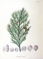 Thujopsis dolabrata SZ120.png