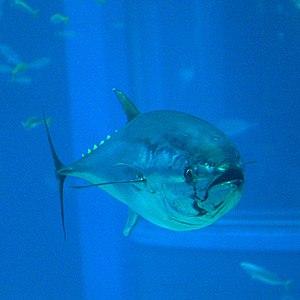 Pacific bluefin tuna - At Osaka Aquarium Kaiyukan, Japan