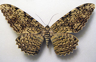 <i>Thysania</i> Genus of moths