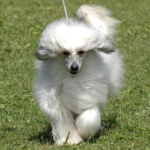 crestado chino con pelo blanco