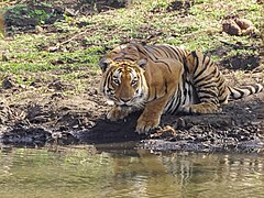 Tiger Drinking Pond Mudumalai Mar21 DSC01310.jpg