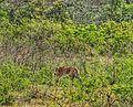 Tiger at jim corbett.jpg