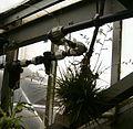 Tillandsia dodsonii BotGardBln 12052008B.jpg
