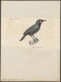 Timalia nigricollis - 1700-1880 - Print - Iconographia Zoologica - Special Collections University of Amsterdam - UBA01 IZ16500013.tif