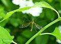 Tipula bicornis.jpg