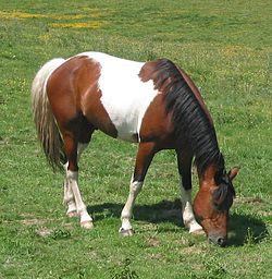 Paint ló - Tobiano mintával.