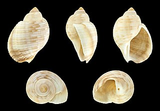 <i>Tonna pennata</i> Species of gastropod