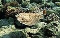 Torpedo panthera. Panther electric ray. DSCF2222WI.jpg