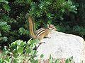 Townsend's chipmunk, Tamias townsendii - Flickr - GregTheBusker (1).jpg