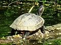 Trachemys scripta (Emydidae) (Pond Slider) - (adult), Arnhem, the Netherlands.jpg