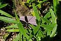 Trachycarpus fortunei, Conservatoire botanique national de Brest 01.jpg