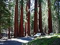 Tree sequoia park.jpg
