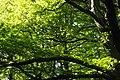 Treecrown -P5185832.jpg
