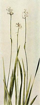 Triantha glutinosa WFNY-009B.jpg