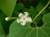 Trichosanthes cucumerina