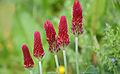 Trifolium incarnatum Citadelle Vauban de Lille 2013 05.JPG