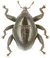Trigonopterus ixodiformis holotype - ZooKeys-280-001-g041.jpg