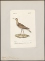 Tringoides bartramius - 1842-1848 - Print - Iconographia Zoologica - Special Collections University of Amsterdam - UBA01 IZ17400147.tif