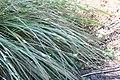 Tripsacum dactyloides var. floridanum 7zz.jpg