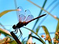 Trithemis arteriosa red veined dropwing.jpg