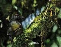 Trochalopteron melanostigma, Doi Inthanon NP, Thailand (7788377352).jpg