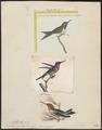 Trochilus amethystinus - 1700-1880 - Print - Iconographia Zoologica - Special Collections University of Amsterdam - UBA01 IZ19100429.tif
