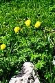 Trollius europaeus ENBLA04.jpg