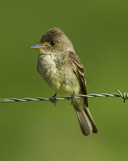 Tropical pewee Species of bird
