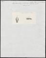 Tropidonotus picturatus - kop - 1700-1880 - Print - Iconographia Zoologica - Special Collections University of Amsterdam - UBA01 IZ12100023.tif