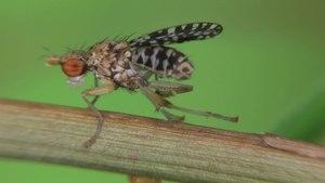 File:Trypetoptera punctulata - 2012-07-26.webm