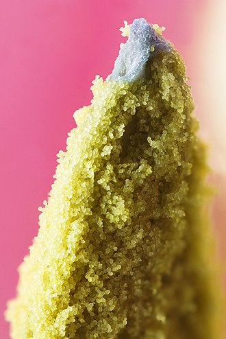Pollination - Tip of a tulip stamen covered with pollen grains.