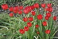 Tulipa orphanidea 02.jpg