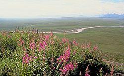 Παράκτια βλάστηση τούντρας στην Αλάσκα, κατά το καλοκαίρι