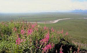 Arctic coastal tundra - Tundra vegetation on Alaska's coastal plain