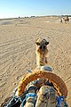 Tunisia-3703 - Time to go to the Hotel.... (8024783264).jpg