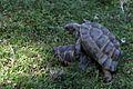 Turtles mating-IMG 5556.JPG
