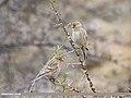 Twite (Carduelis flavirostris).jpg