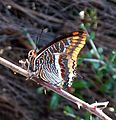 Two-tailed Pasha.Charaxes jasius - Flickr - gailhampshire.jpg