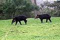 Two Tapirus pinchaque.jpg