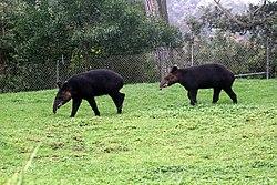 Deux tapirs de montagne, dans un zoo