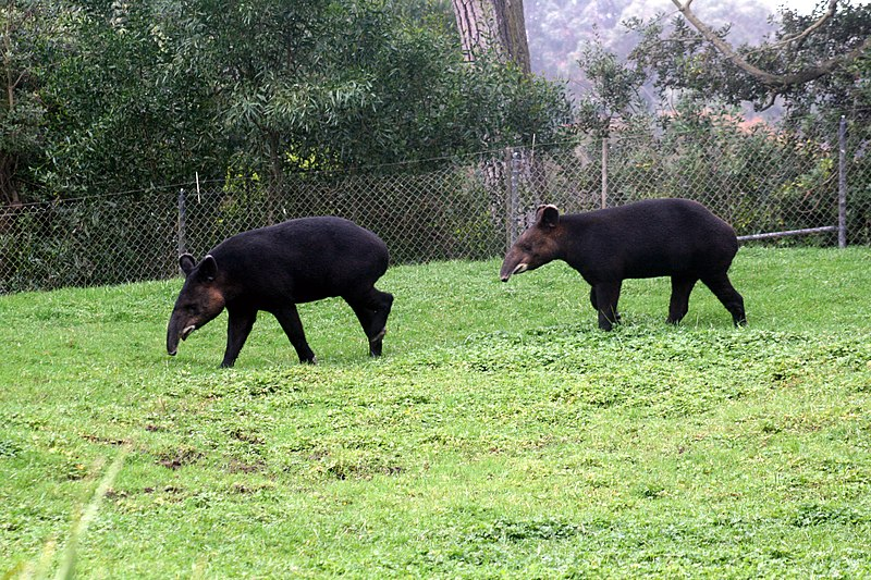 File:Two Tapirus pinchaque.jpg